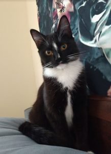 Tuxedo American Shorthair - Introducing a New Set of Pawprints!